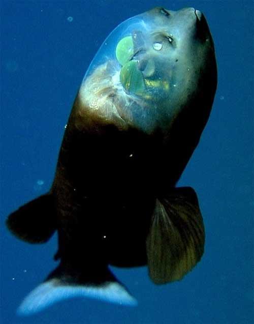 Фото рыбы с прозрачной головой